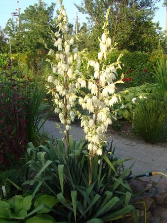 filamentous: Filamentous Yucca is a perennial evergreen tree Stock Photo