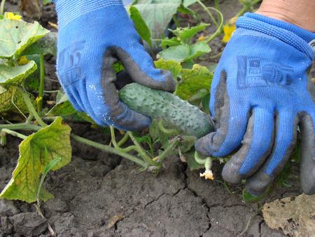 juntar: recoger el pepino maduro, cosecha de pepino en el campo
