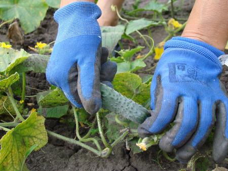 cobrar: recoger el pepino maduro, cosecha de pepino en el campo