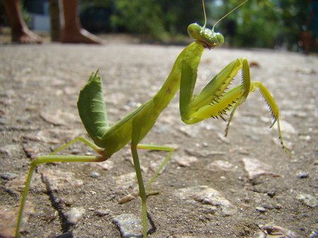 green mantis is posing for the camera