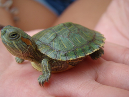 turtle trachemys Hatchling poses for the camera Stock Photo