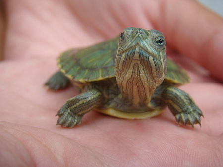 hatchling: turtle trachemys Hatchling poses for the camera Stock Photo