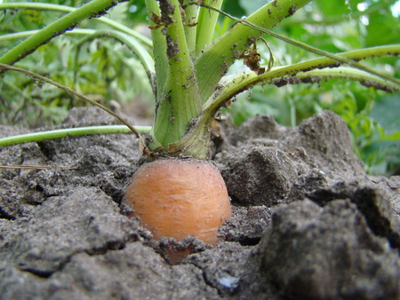 carrot is a biennial plant, a subspecies of the species Daucus carota.