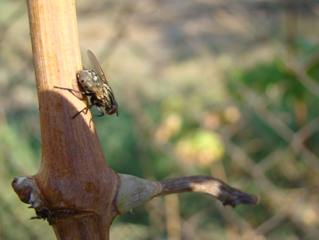diptera: Flies are insects included in the order Diptera