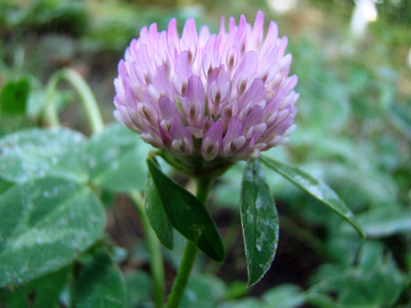 legume: red clover is a genus of plants of the Legume family