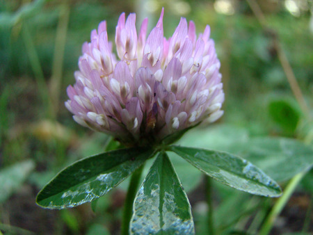 red clover: red clover is a genus of plants of the Legume family
