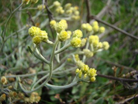 shamanism: strawflower-medicinal plant used in folk medicine Stock Photo