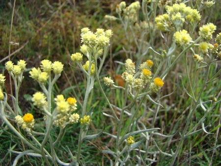 healers: strawflower-medicinal plant used in folk medicine Stock Photo