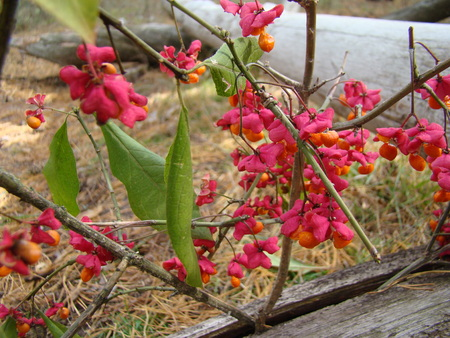 shamanism: wolf berries red ripened growing in a forest