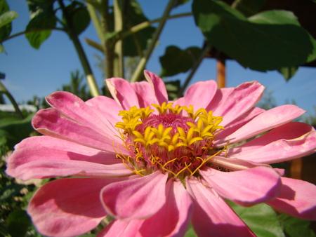 zinnia in full bloom-Aster family