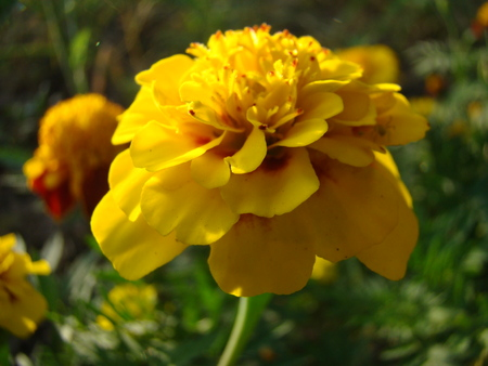 shamanism: marigold is a flower common throughout Europe and is not only an ornament but also a remedy in folk medicine Stock Photo