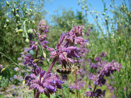 tannins: Salvia officinalis is a large genus of perennial herbaceous plants and shrubs