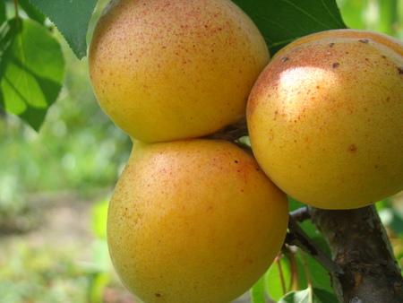 apricot ripe fruit growing on the tree closeup