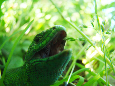 male lizard in the grass with open mouth