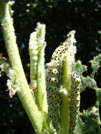 caterpillar closeup eat the green plant Stock Photo
