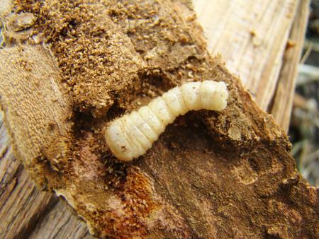 worm beetle,a beetle grub bark beetle Stock Photo