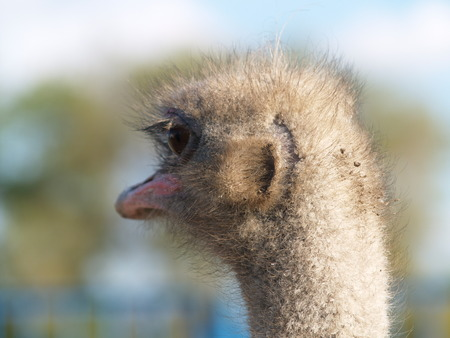 head of an ostrich filmed closeup