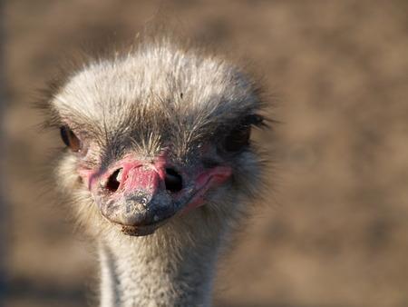 head of an ostrich filmed closeup