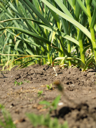 garlic green growing in the garden photo close-up Standard-Bild - 126265774