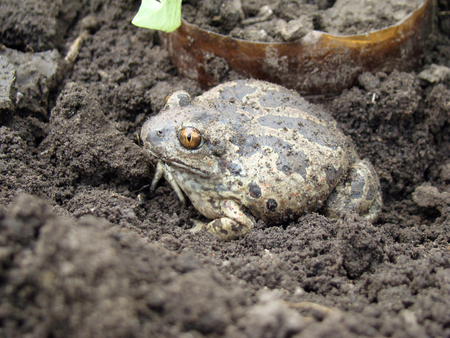 earth toad sitting on the ground Standard-Bild - 126265926