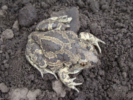 earth toad sitting on the ground Standard-Bild - 126265945