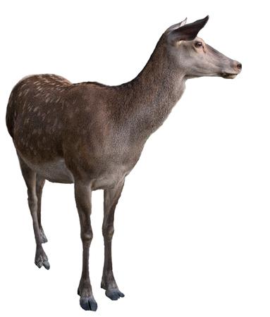 zoo animal: Wild animal deer isolated on white