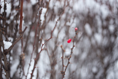 barberry: red berry barberry in winter blurred background Stock Photo
