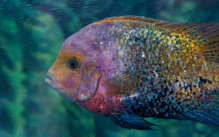 brooder: Herotilapia multispinosa (rainbow cichlid) is a aquarium fish that live in Central America