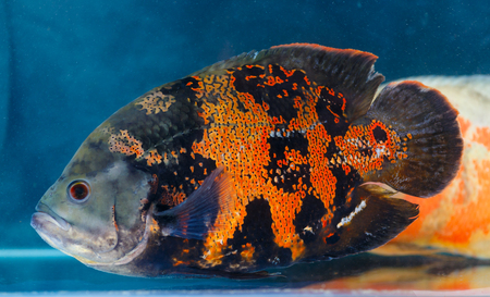 astronotus: Astronotus ocellatus (Oscar fish) - the aquarium fish. Whose species naturally resides is In tropical South America Stock Photo