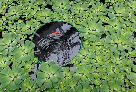 Red carp in a pond that is overgrown with green lettuce