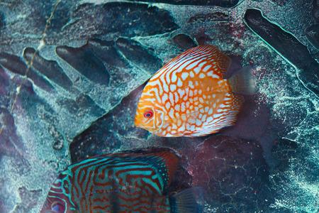 Aquarium fish discus in orange color from Amazon river basin in South America.