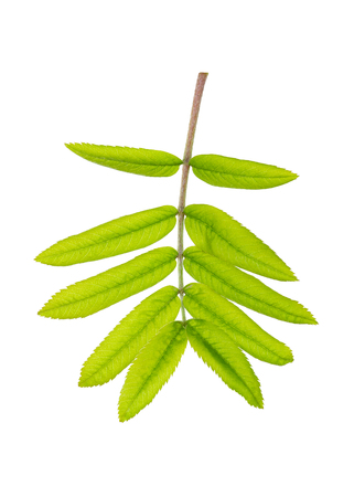 The small branch of mountain ash tree with green leaves isolated on white background