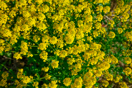 was: Natural background of yellow flowers of rape. Yellow flowers bush of rape was shot from above Stock Photo