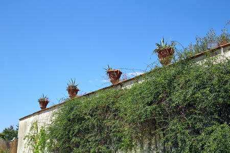 A ivy wall with flower pots on top in a clear sunny day Florence, Italy