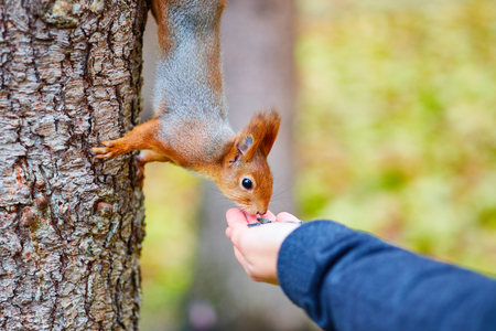 Adorable squirrel hanging on tree trunk and taking seeds from crop hand.
