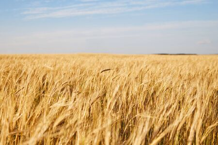 A path through a field of ripe wheat with a forest on the horizon on a summer sunny day. Yellow field with ripe cereals