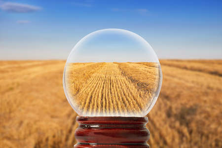 The field of cereals after harvesting on a clear sunny evening in a glass transparent bowl Stock Photo