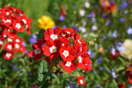 red flowers blooming in the garden, a carpet of flowers Stock Photo