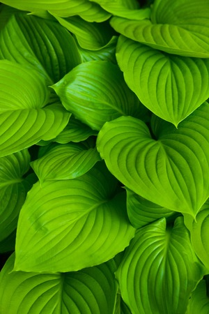 Background of the hosta leaves