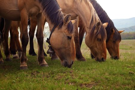 Horses grazing in a meadow in a mountainous area on a spring day