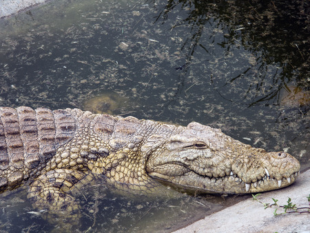 Nile crocodile, in its natural habitat