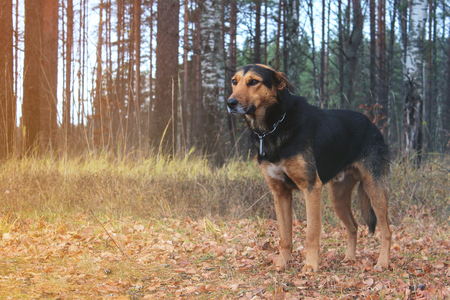 hunting dog standing in the forest