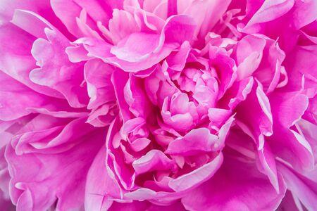 beautiful flower peonies closeup