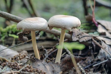 Two unknown mushroom grow in the forest