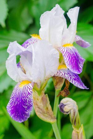 Iris flowers with blue petals closeup Banco de Imagens