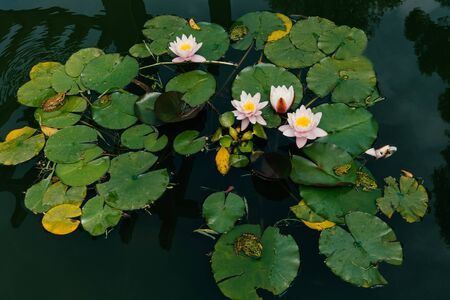 Pink water Lilies bloom and green frogs. Top view.