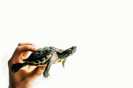Pond slider isolated on the white background in the hand. Copy space. 스톡 콘텐츠
