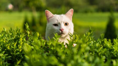 portrait of a white cat in nature green Banque d'images
