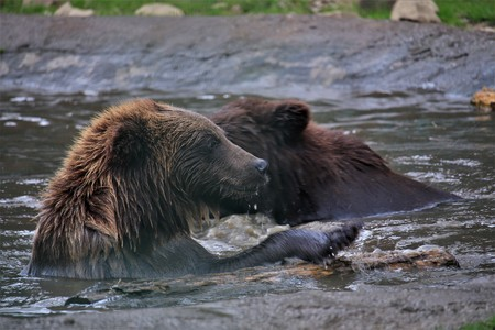 Bears swim in the river on a hot summer day