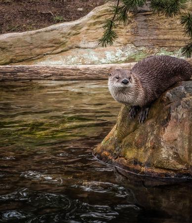 clutches: Wet otter sitting on a rock, Prague, the Czeck Republic